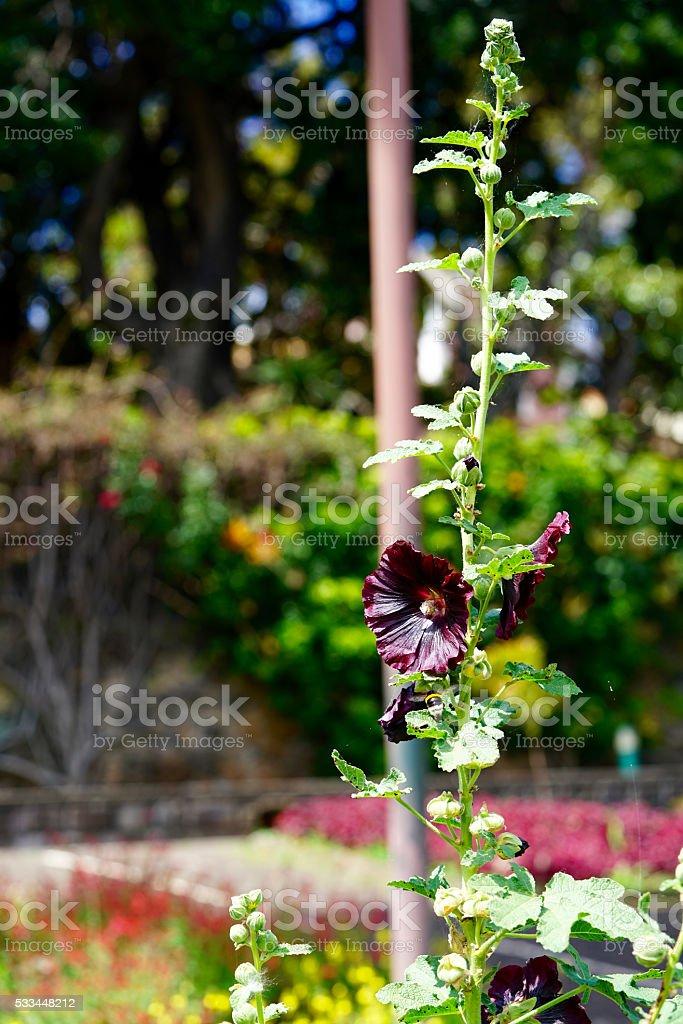 black-red hollyhock stock photo