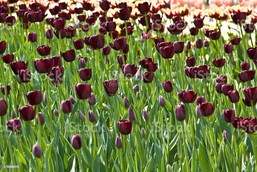 Black-red tulips stock photo