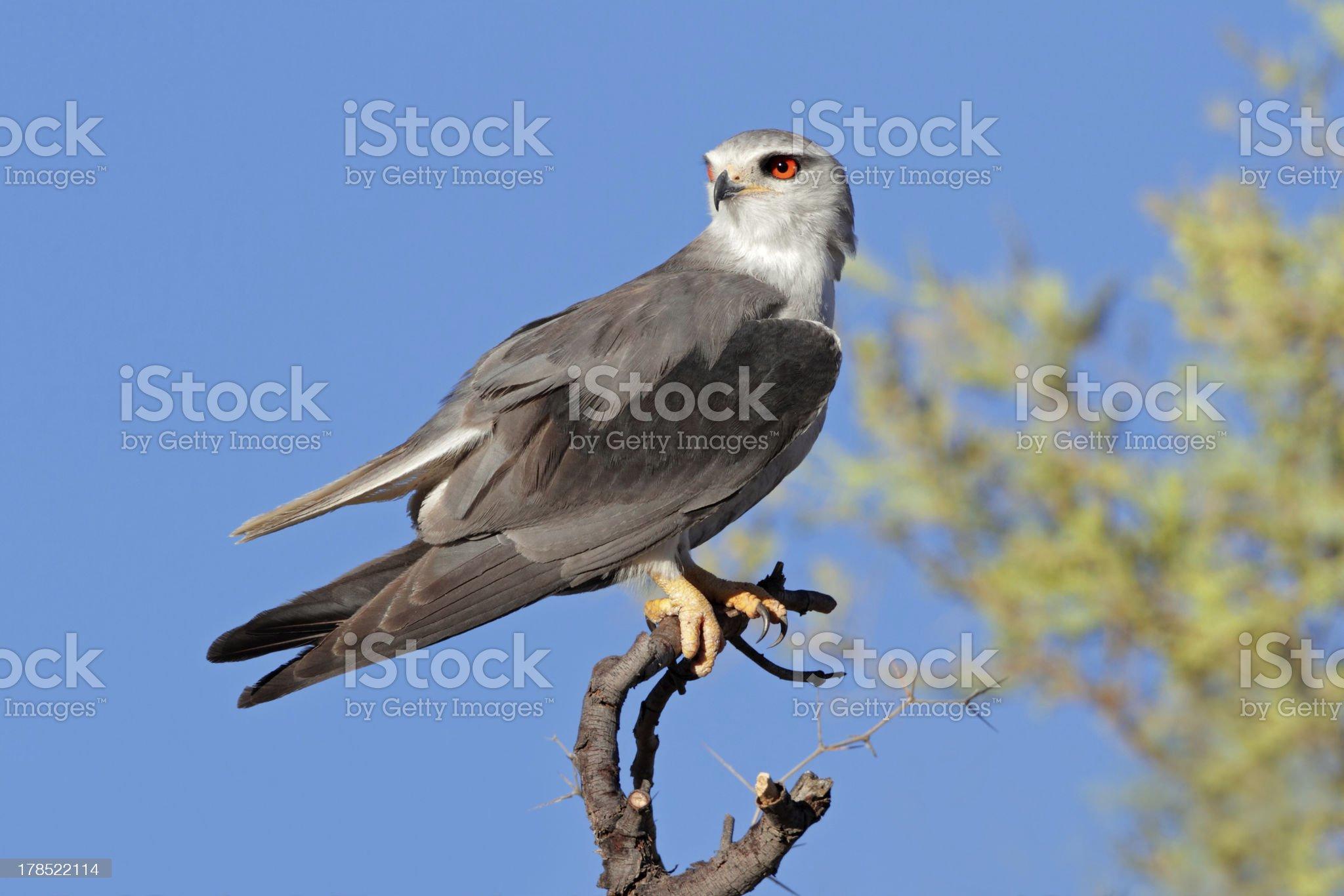 Black-shouldered kite royalty-free stock photo