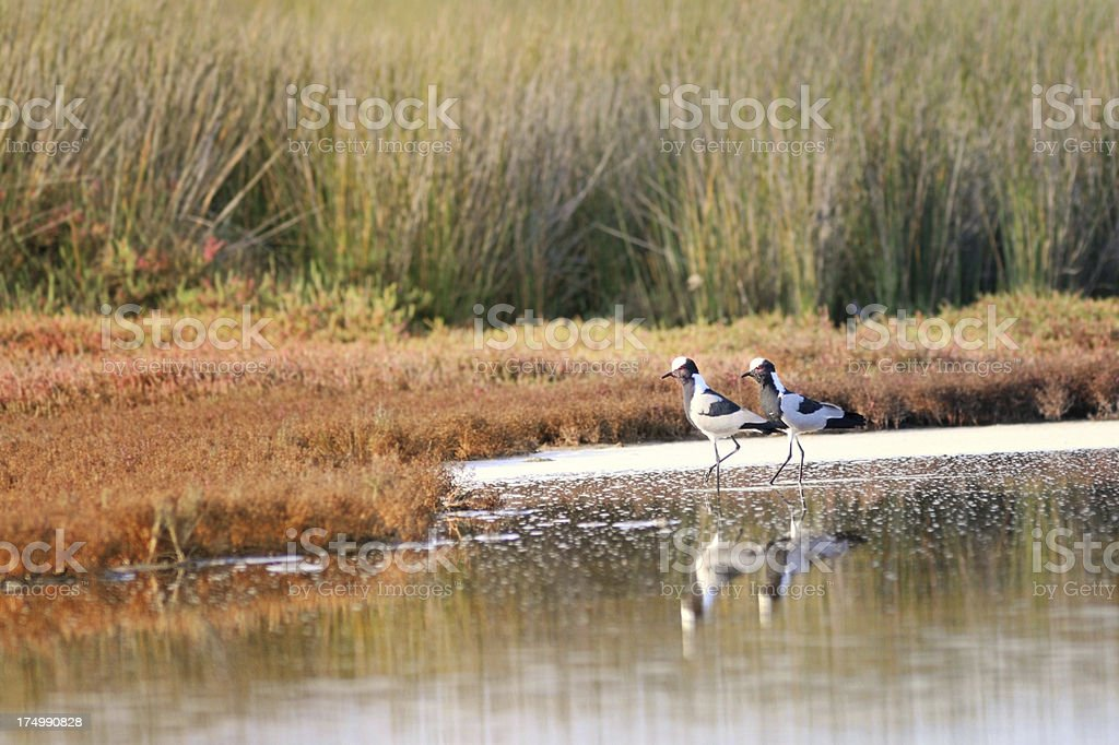 Blacksmith Plovers In West Coast National Park royalty-free stock photo