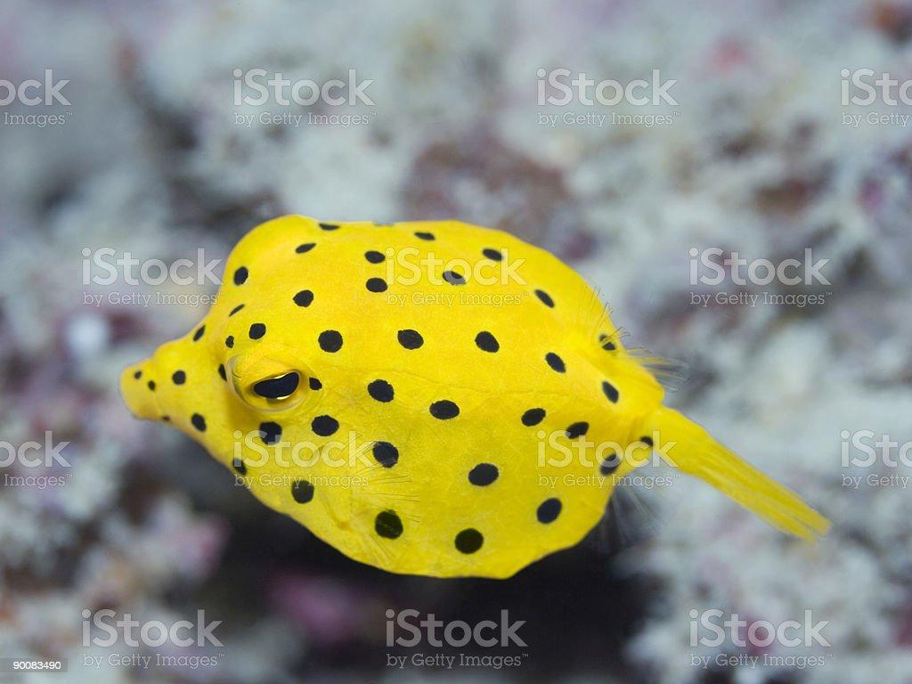 Black-spotted boxfish royalty-free stock photo