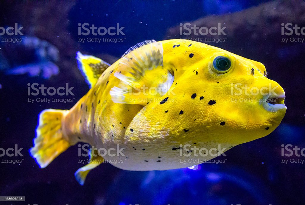 Blackspotted puffer stock photo