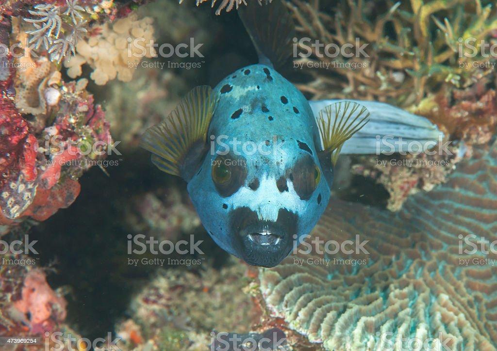 Blackspotted pufferfish stock photo