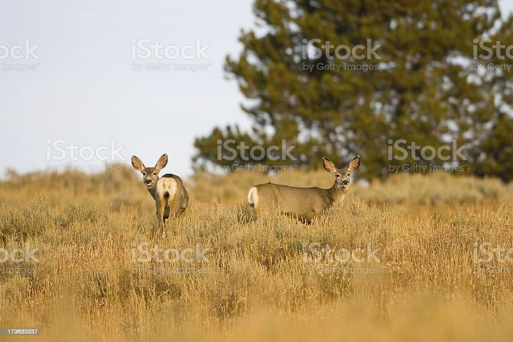 Blacktail Deer in a Meadow stock photo