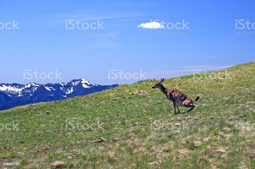 Blacktail Deer Squatting in Alpine Meadow stock photo