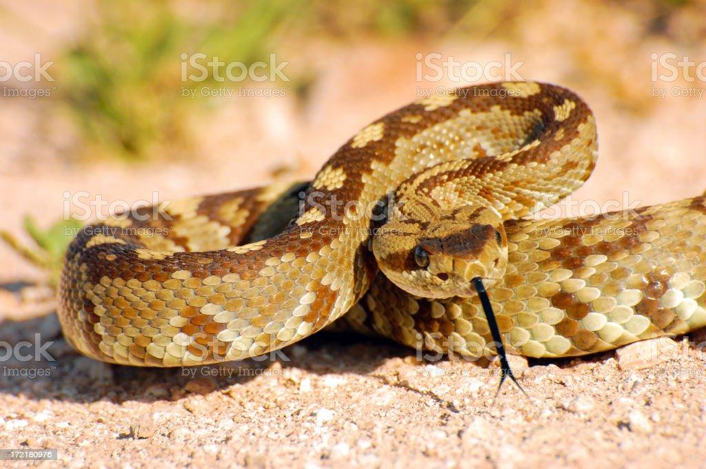 Blacktail Rattlesnake Coiled to Strike 2 stock photo