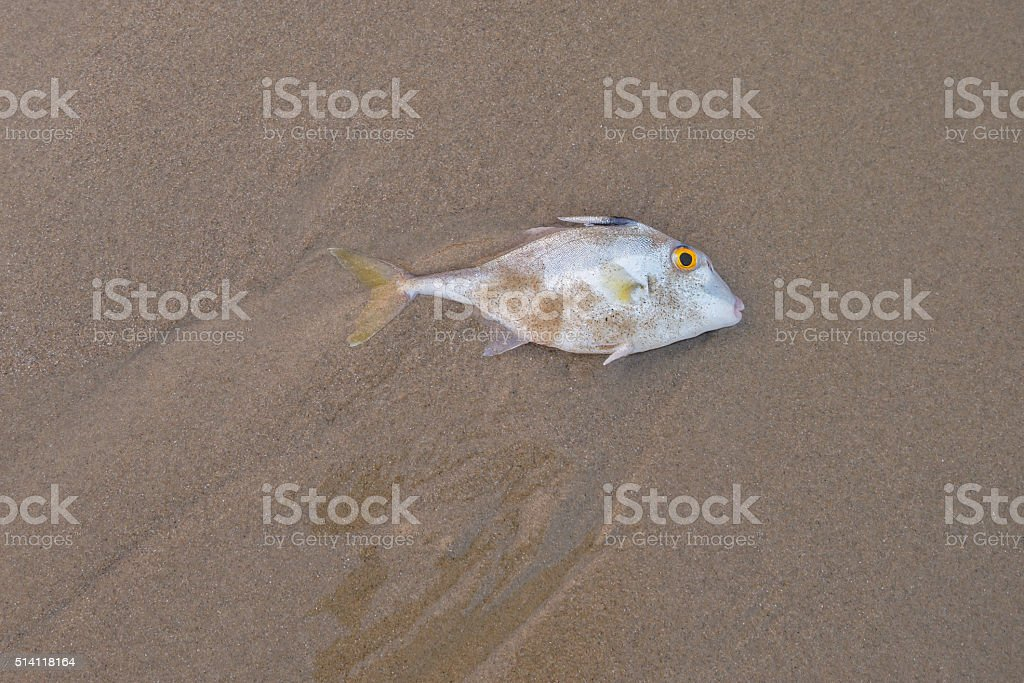 Blacktail Tripod-fish dead on the sand.Copy space stock photo
