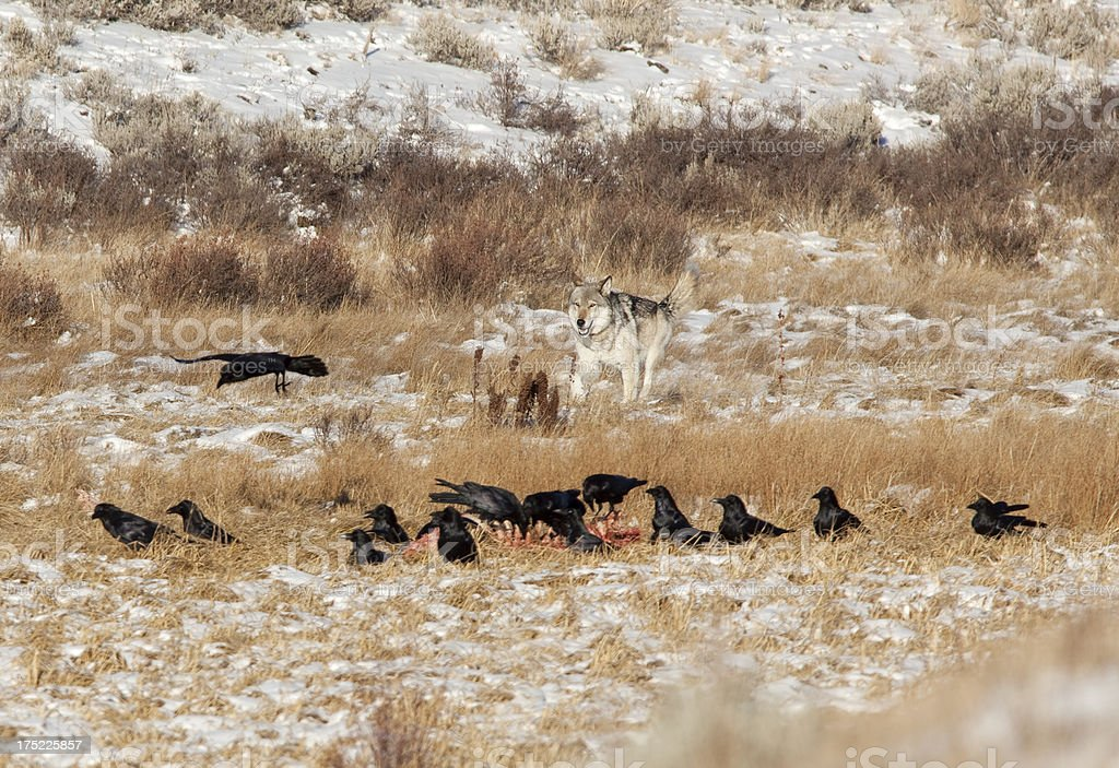 Blacktail wolf approaches carcass Yellowstone NP Wyoming royalty-free stock photo