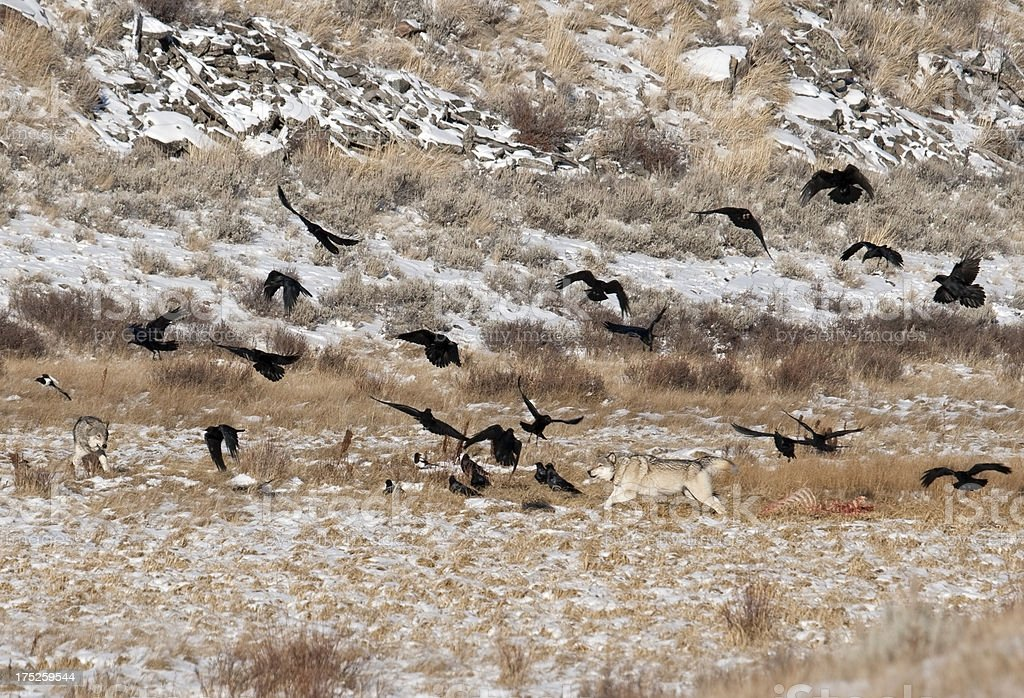 Blacktail wolves near carcass Yellowstone NP Wyoming royalty-free stock photo