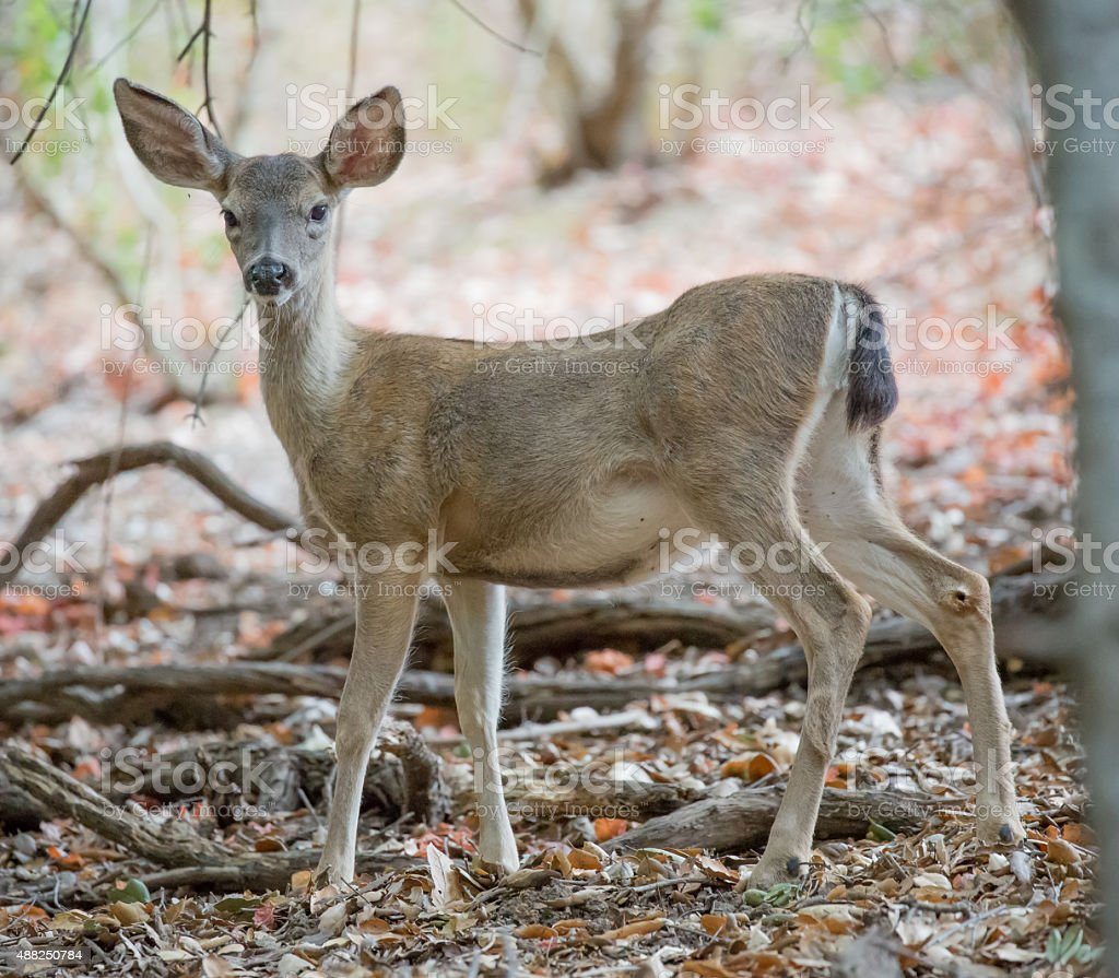Black-tailed Deer (Odocoileus hemionus columbianus) alerted stock photo