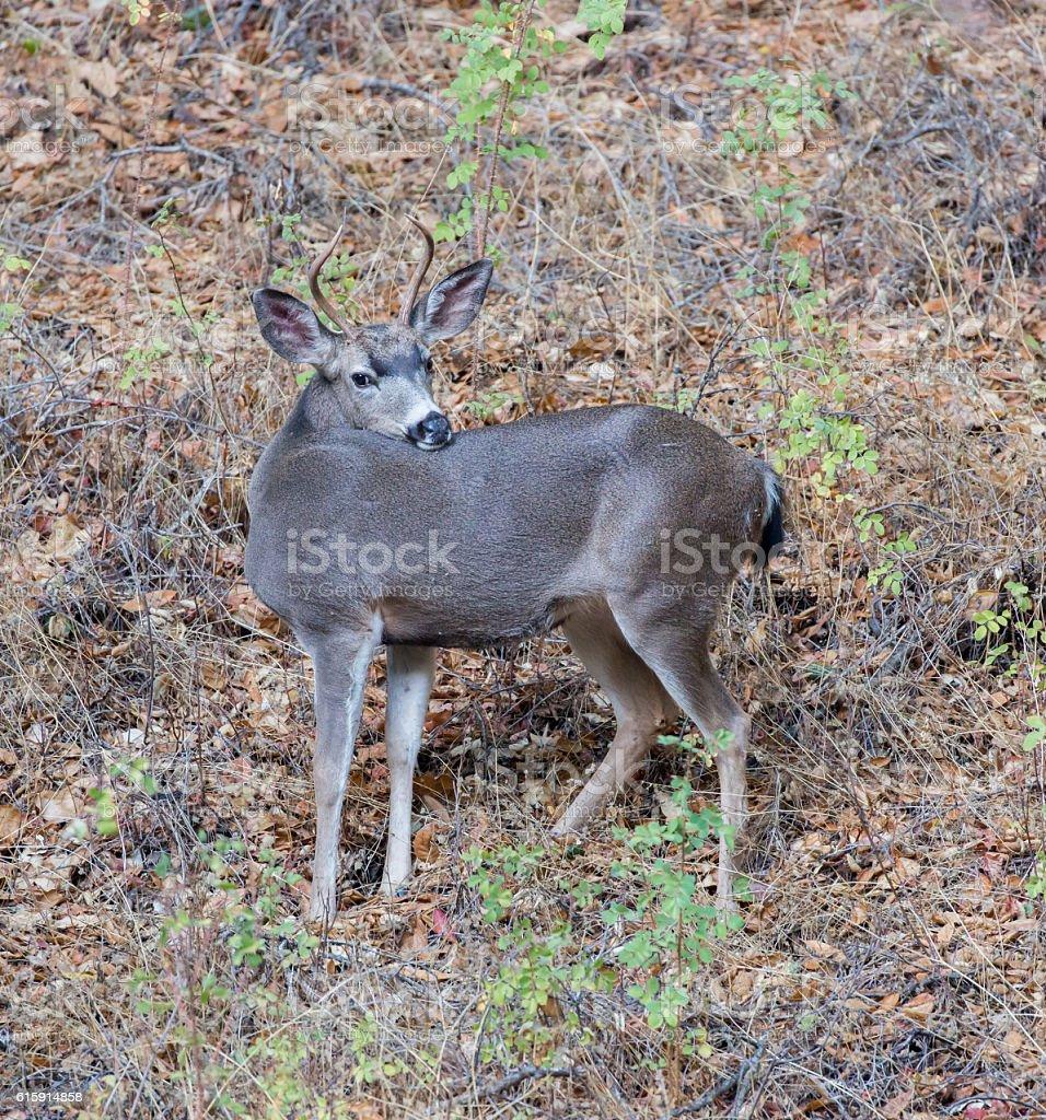 Black-tailed Deer Buck Posing stock photo