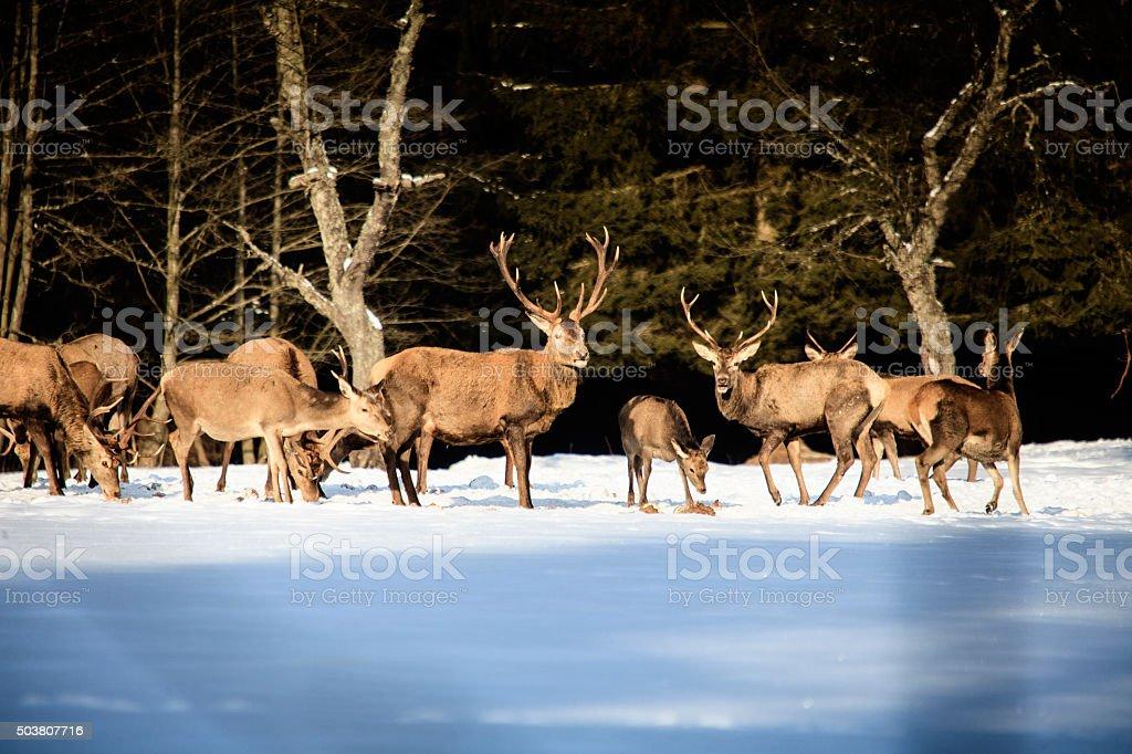 Black-tailed deer bucks stock photo