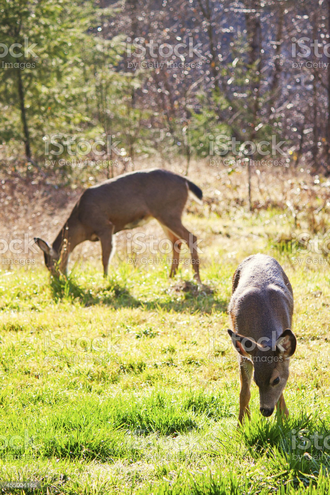 Black-tailed Deer: Fawn and Doe royalty-free stock photo