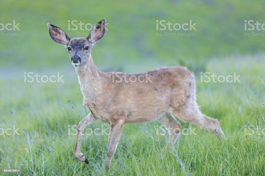 Black-tailed Deer (Odocoileus hemionus) Fawn. stock photo