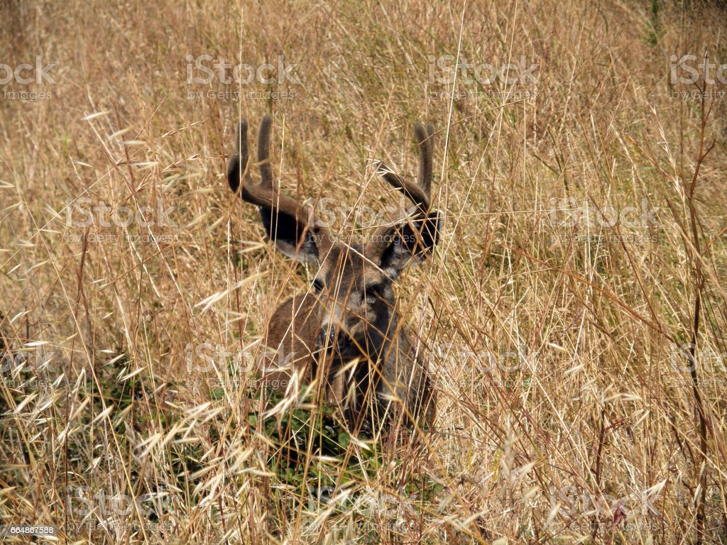 Black-tailed Deer hides in Dry grassy Field stock photo