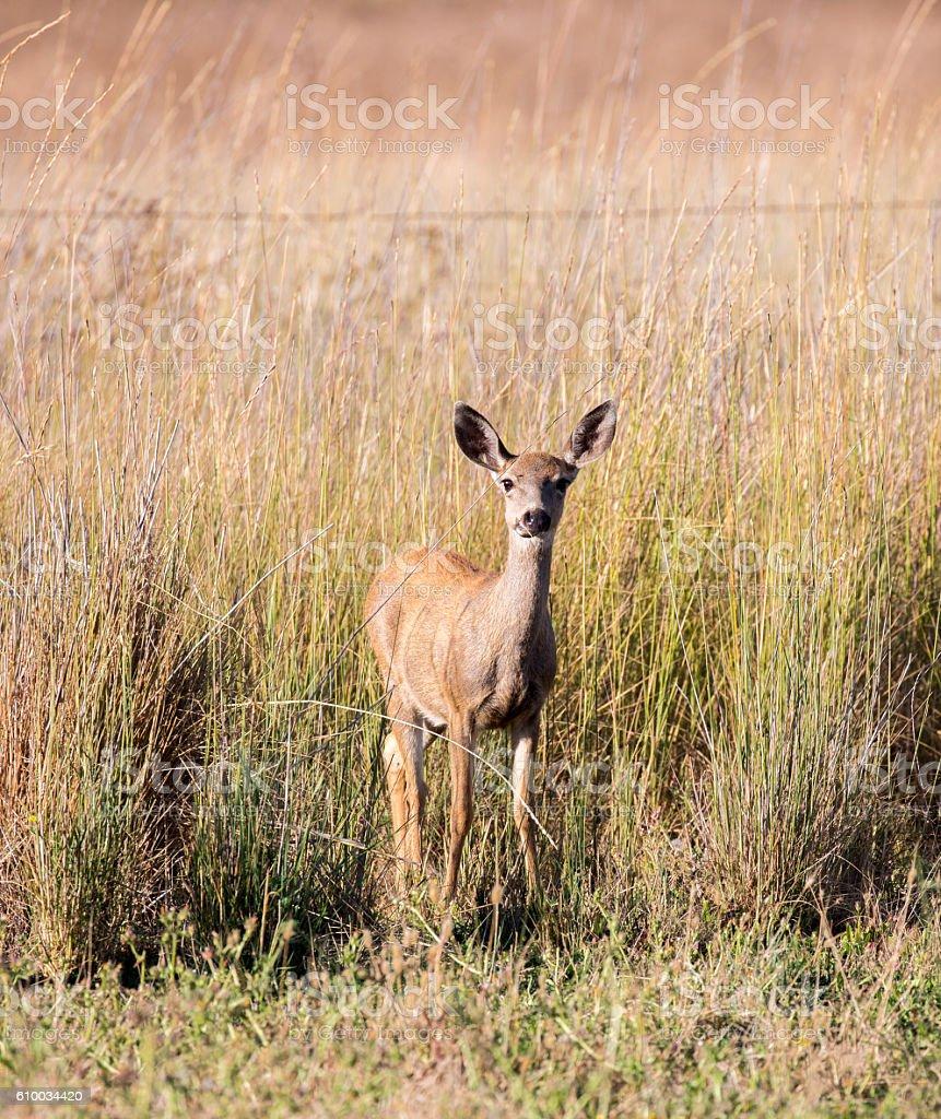 Black-tailed Deer (Odocoileus hemionus) in the grassland. Adult, Female stock photo