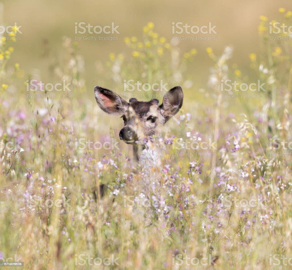 Black-tailed Deer (Odocoileus hemionus) peeking through Spring flowers. stock photo