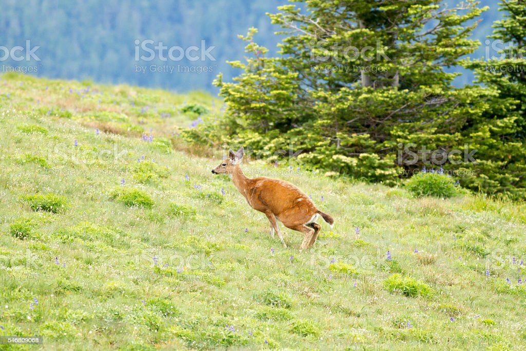 Black-tailed deer squats for relief. stock photo