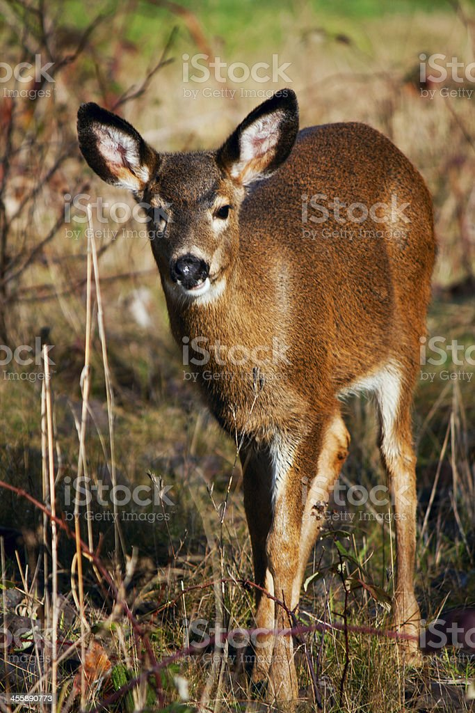 Black-tailed Fawn royalty-free stock photo