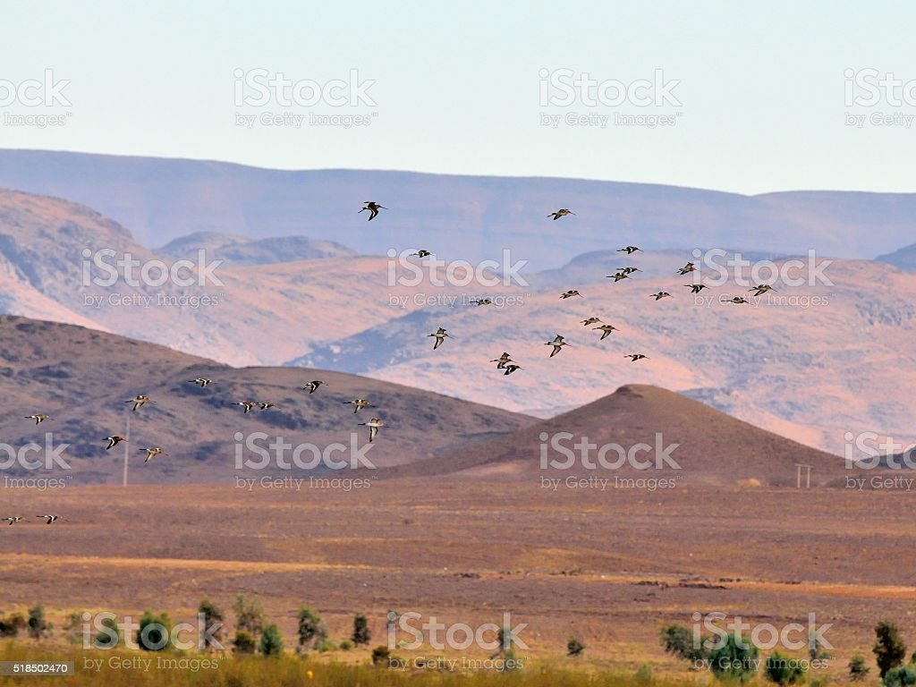 Black-tailed Godwit Flock Flyby in Morocco stock photo