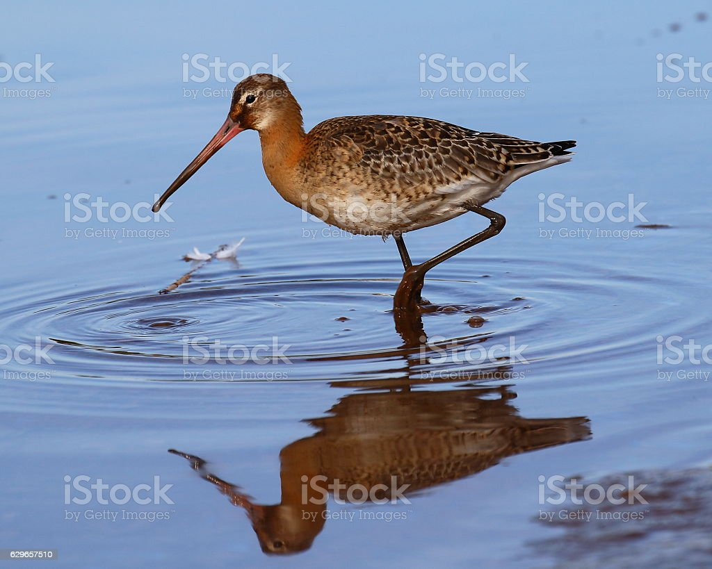 Black-Tailed Godwit stock photo