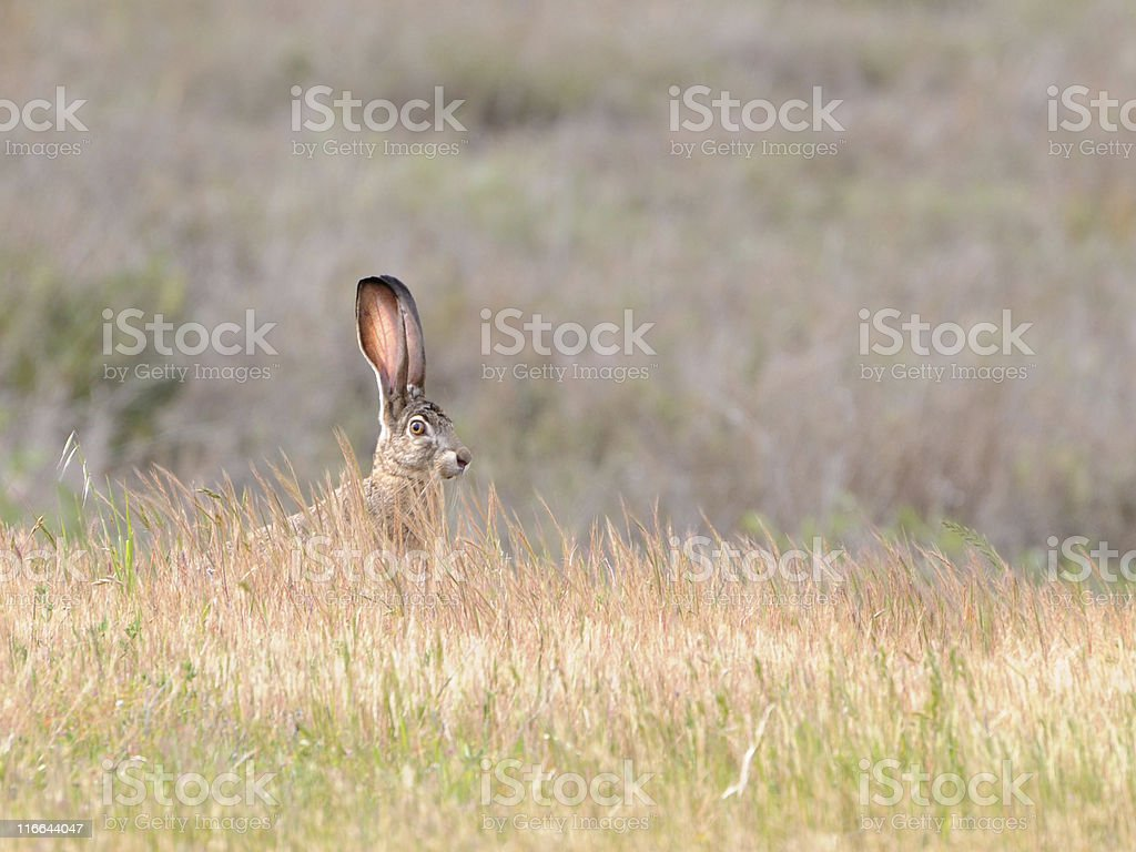 black-tailed jackrabbit, Lepus californicus, looking over tall grass stock photo