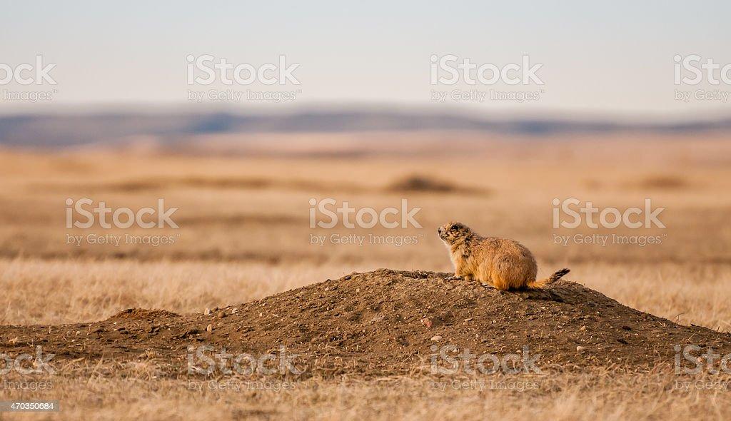 Black-tailed Prairie Dog at Sunset stock photo