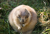 Black-tailed Prairie Dog Eating Grass Roots
