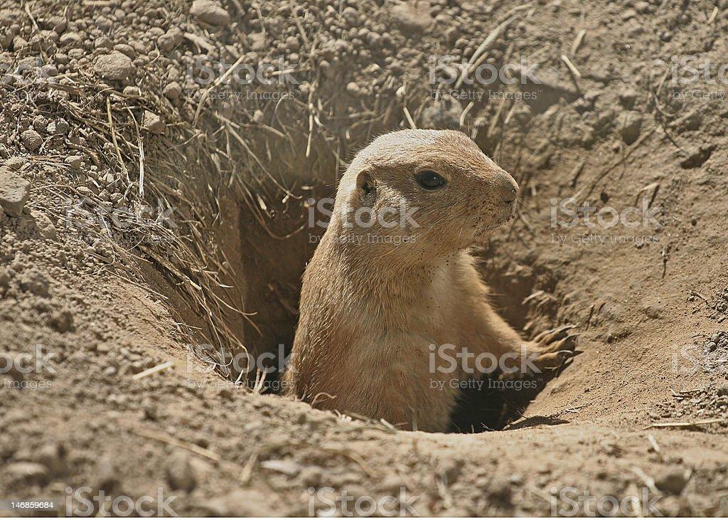 Black-Tailed Prairie Dog stock photo