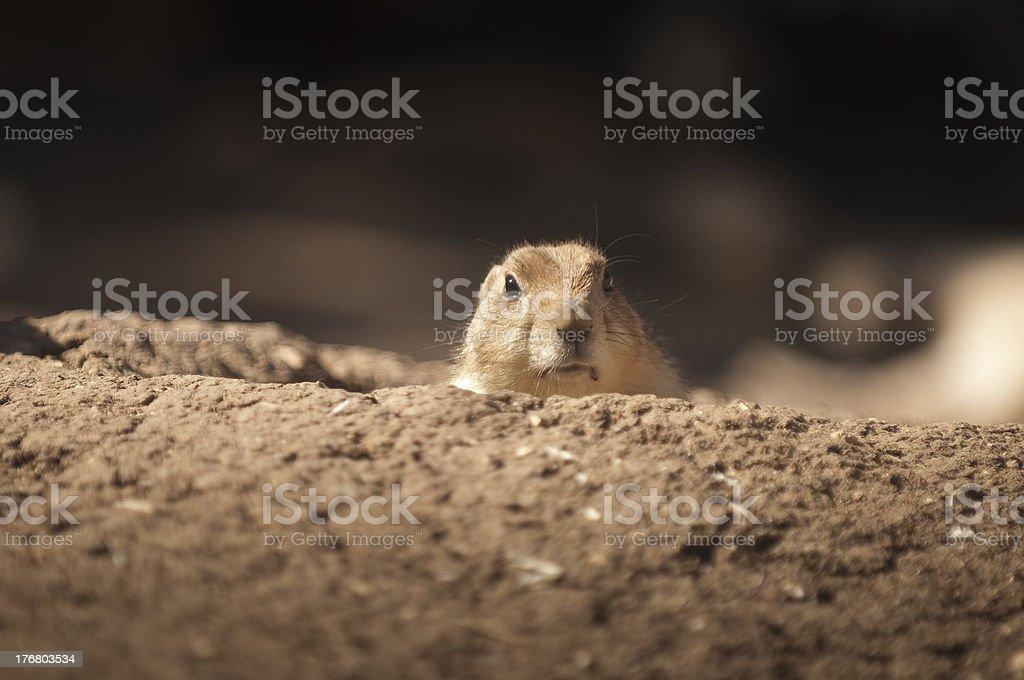 Black-tailed Prairie Dog royalty-free stock photo