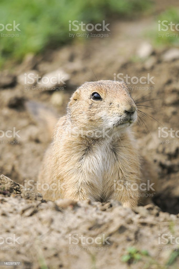 Black-tailed Prairie Dog (Cynomys ludovicianus) royalty-free stock photo