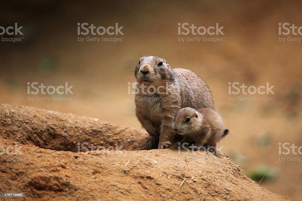 Black-tailed prairie dog (Cynomys ludovicianus) stock photo