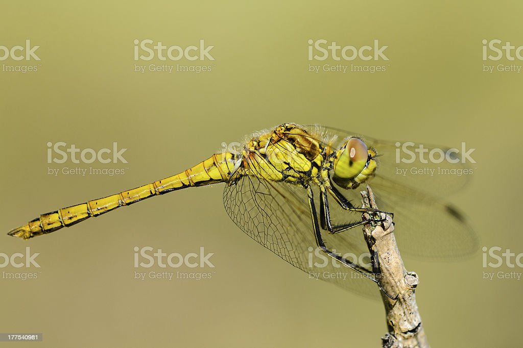 Black-tailed Skimmer royalty-free stock photo
