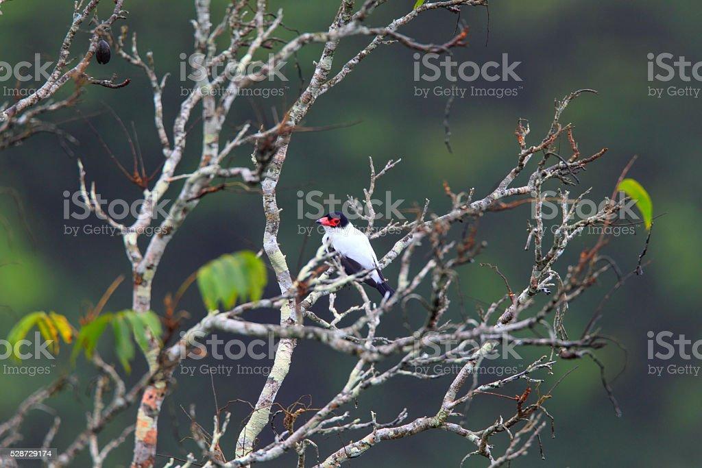 Black-tailed Tityra stock photo