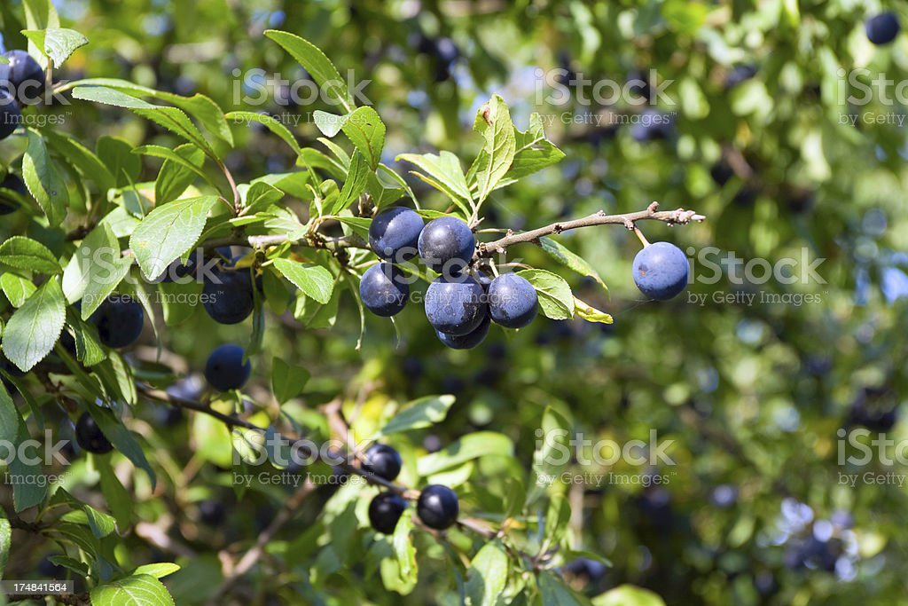 Blackthorn berries royalty-free stock photo