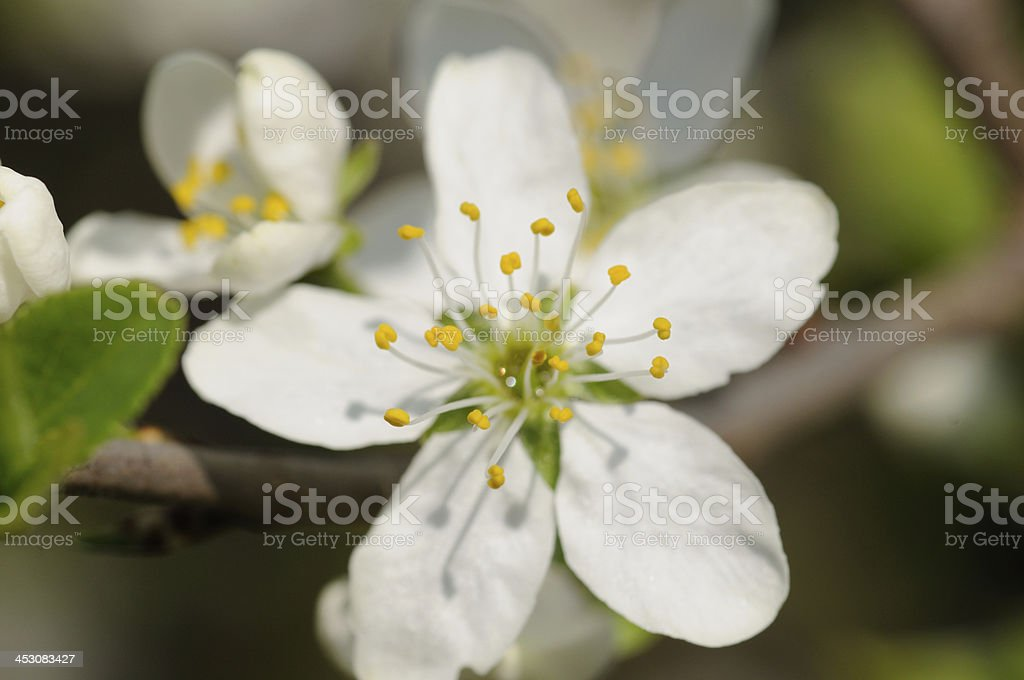 Blackthorn blooming royalty-free stock photo