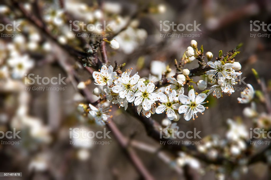Blackthorn Blossom royalty-free stock photo