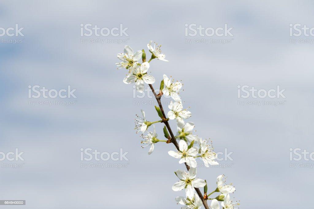 Blackthorn Blossom ( Prunus spinosa ) – Foto