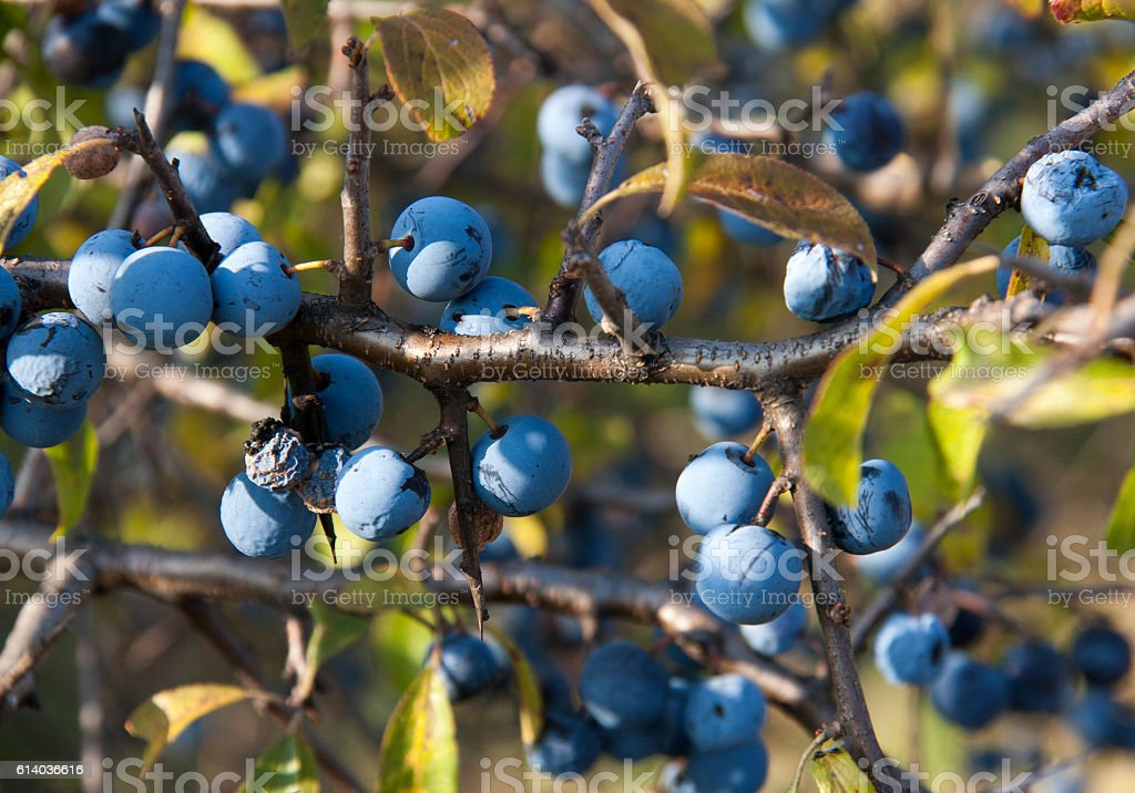 blackthorn branch with berries  a blurred background stock photo