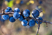 blackthorn branch with berries a blurred background