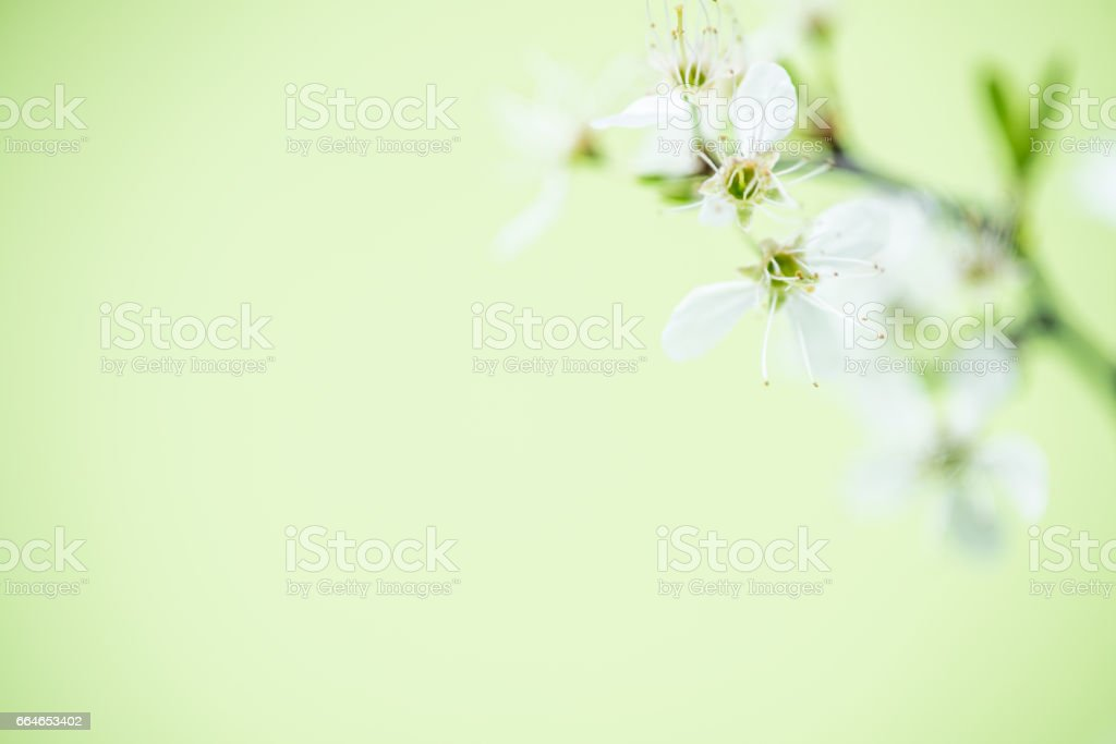 Blackthorn Flowers On Light Green Yellow Background stock photo