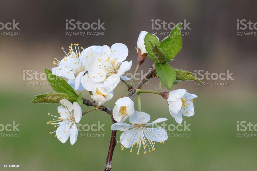 Blackthorn flowers stock photo