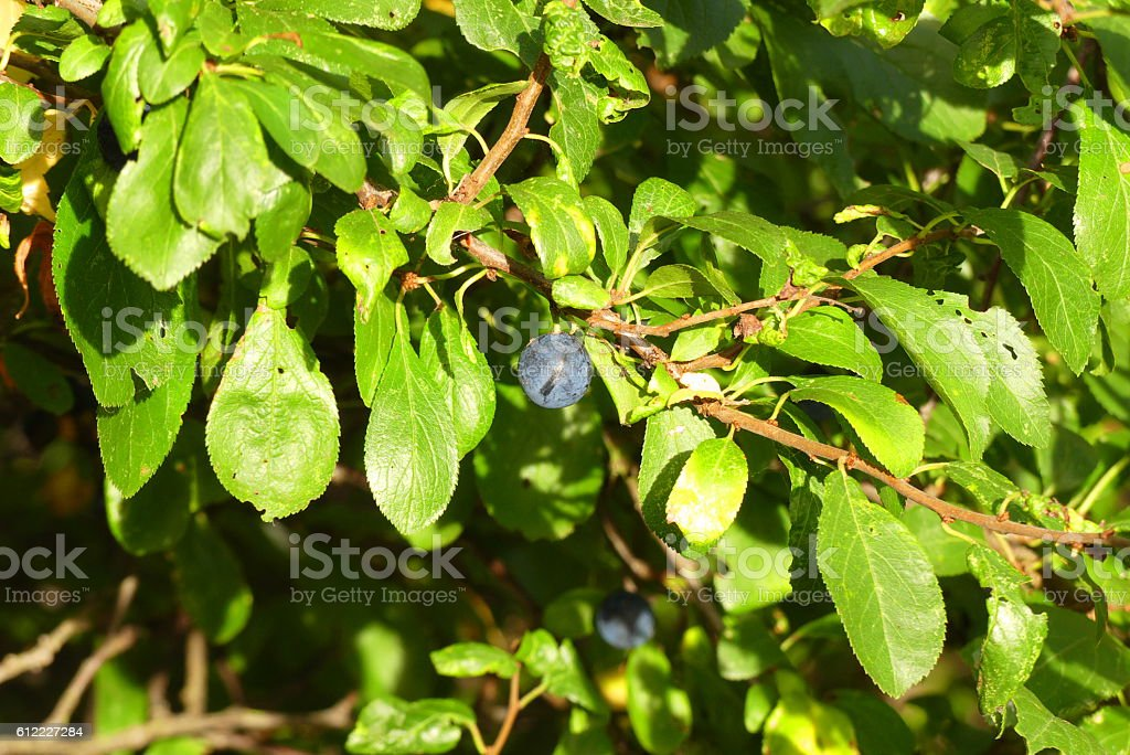 blackthorn for jelly stock photo