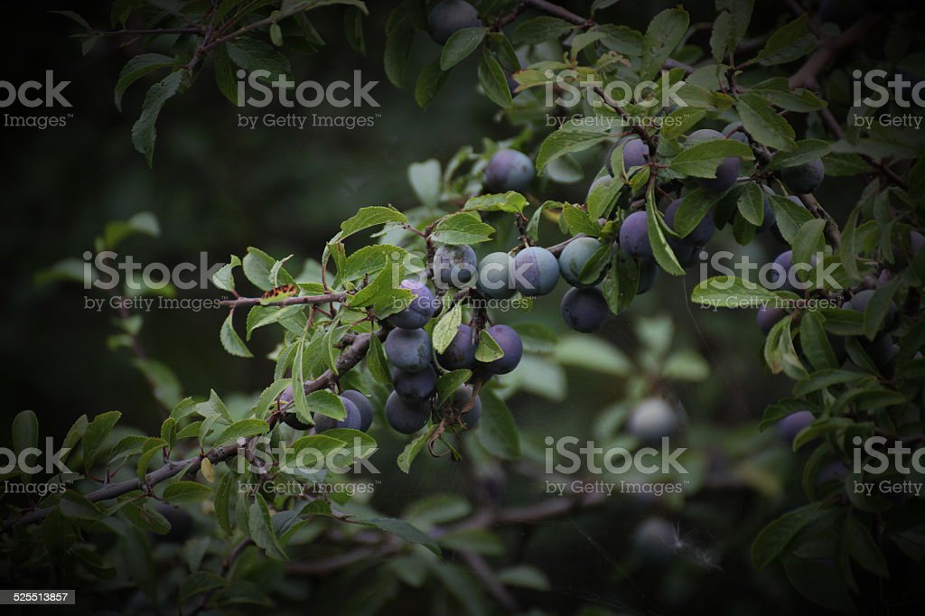 Blackthorn Fruits stock photo