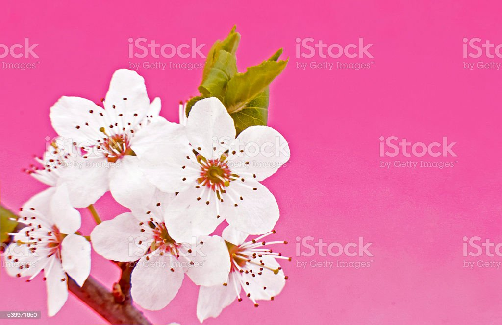 Blackthorn on pink background stock photo