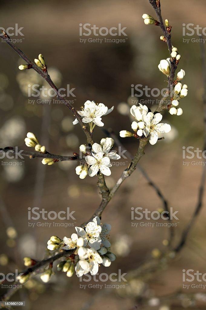 Blackthorn royalty-free stock photo