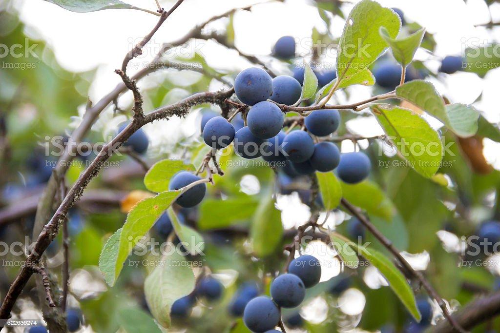 blackthorn (prunus spinosa) stock photo