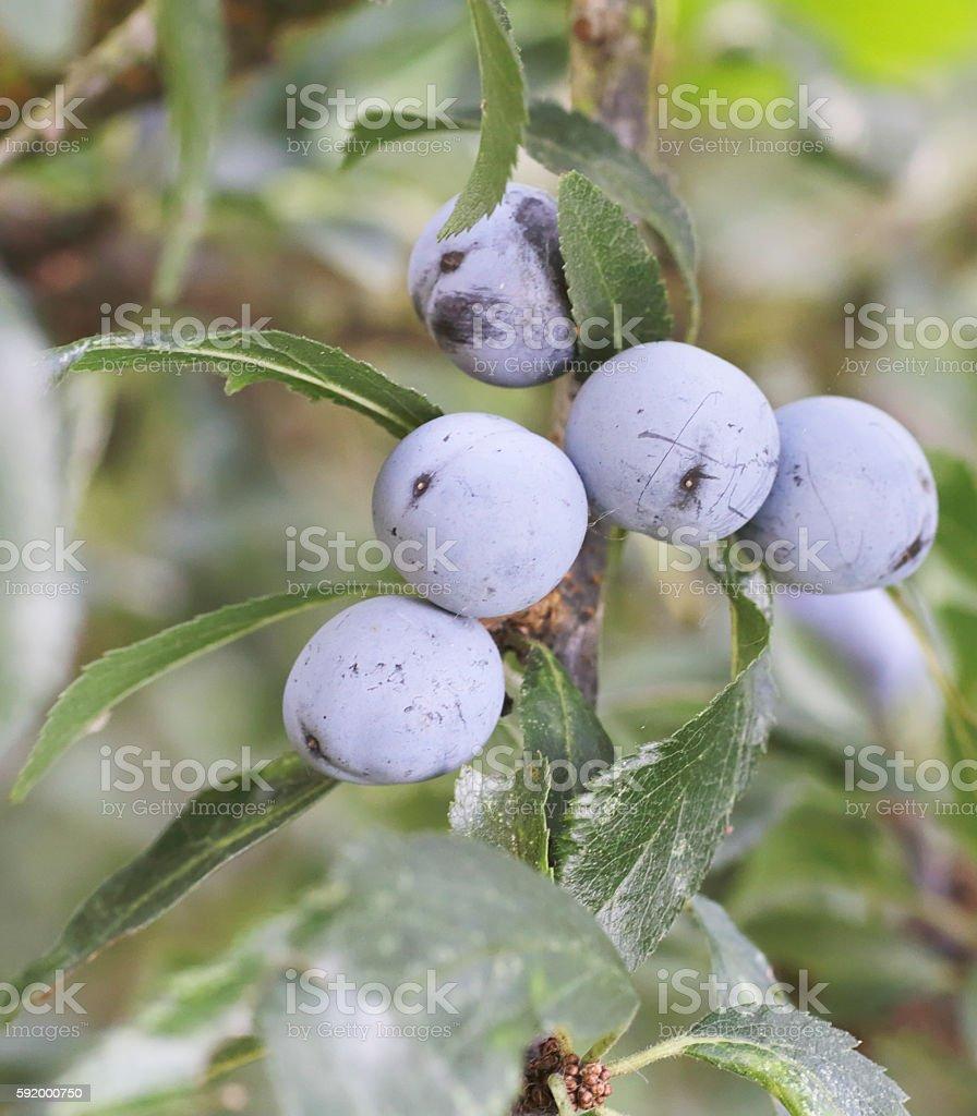 Blackthorn, Sloe (Prunus spinosa) Fruits stock photo