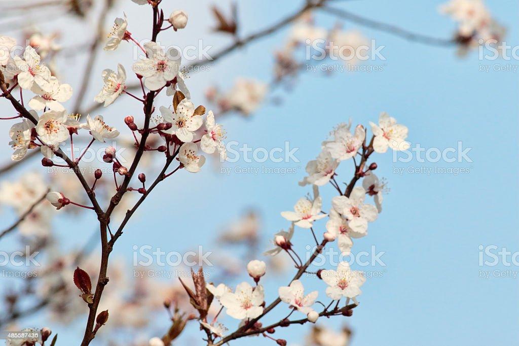 Blackthorn white blossom Prunus spinosa in spring stock photo