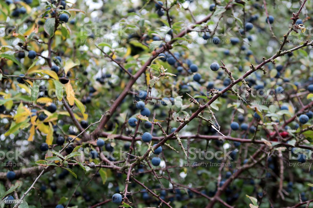 blackthorn with fruits in autumn time. stock photo